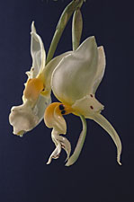 Stanhopea embreei 'Original' x self.