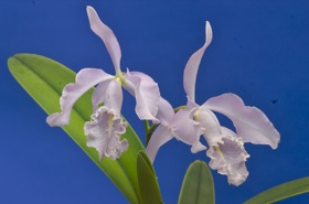 Cattleya maxima var. coerulea 'Natural World' x self.