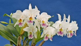 Cattleya gaskelliana semi-alba x self.
