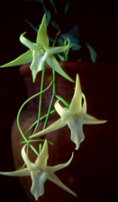 Angraecum sesquipedale `Kelly Watson' x self.