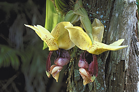 Stanhopea insignis 'Dark Jungle' x self.