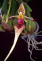 Bulbophyllum putidum 'Natural World'