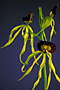 Encyclia cochleata 'Superba' x self.