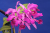 Cattleya lawrenceana `Color Aquinata #1' x self