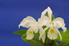 Cattleya gaskelliana alba 'Quebrada' x self.