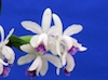 Cattleya intermedia coerulea x self.
