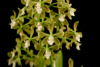 Encyclia parkeri `Natural World' CHM/AOS x self